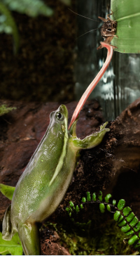 A frog catches a cricket in the jungle with his sticky tongue.