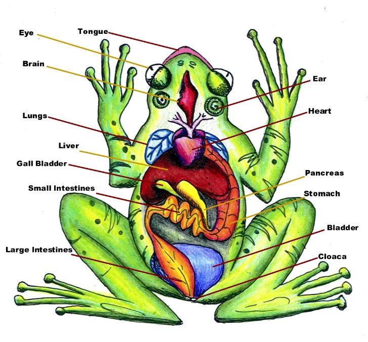 Diagram of Frog Anatomy: Huge Color Image