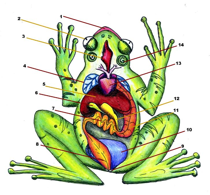 Article on how to create a diagram of the frog anatomy, image included.