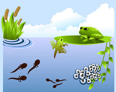 Articles and pictures about the Life Cycle of a Frog including
