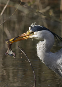 This blue heron bird has caught a frog.
