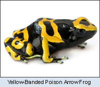 Yellow-Banded Poison Arrow Frog