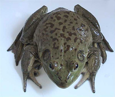 The American Bull Frog