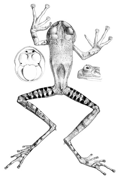 Realistic Tree Frog Drawings Do Frogs Have Teeth?