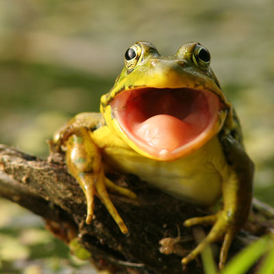 do frogs have teeth
